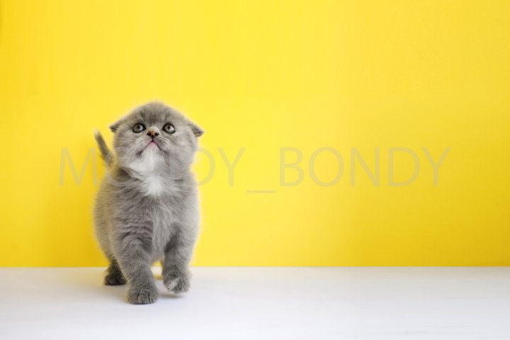 Small gray fold kitten on a yellow background.