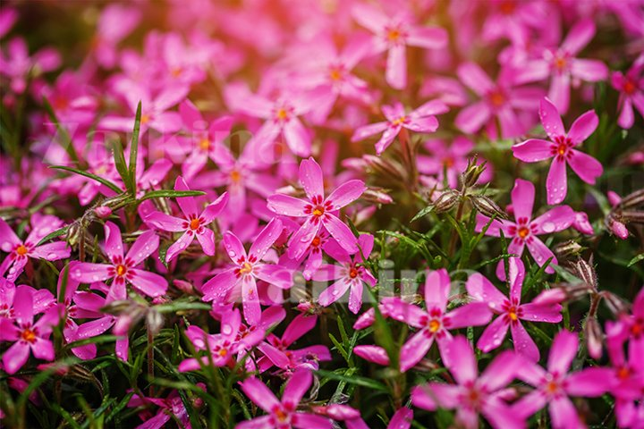 Beautiful l background of small purple flowers