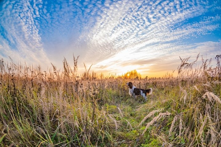 An english springer spaniel dog in fall field.
