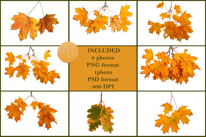 Autumn maple branches on transparent background