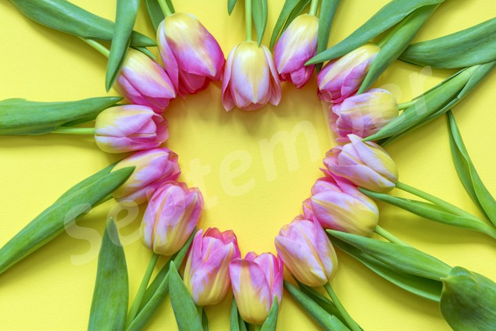 Heart shaped pink tulip flat lay on the yellow background