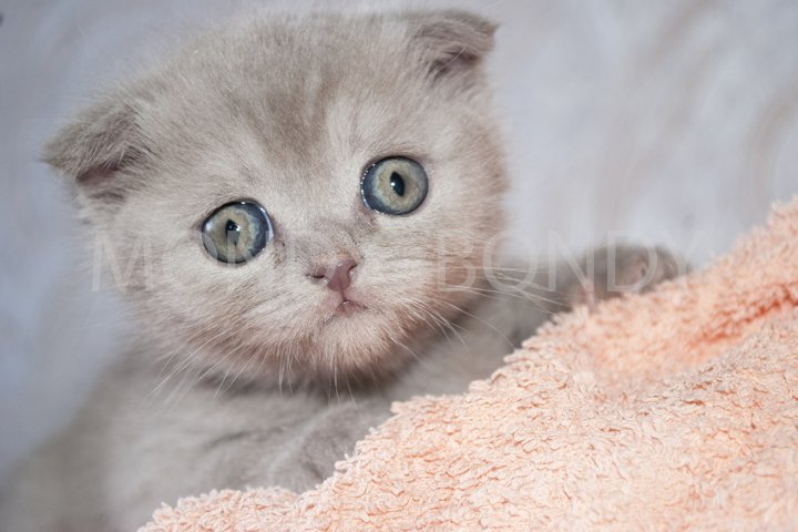 Small fold kitten with big eyes. Close-up.