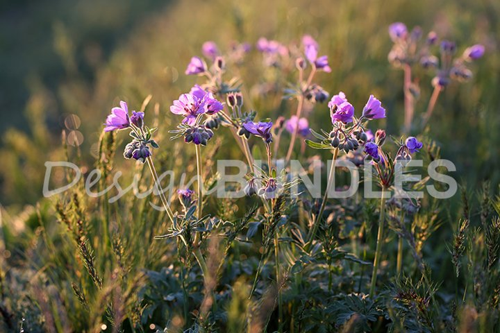 Field geranium. Flowers in the backlight. Sunny summer day.