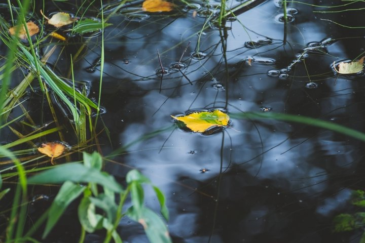 Colorful foliage floating in the dark fall water.
