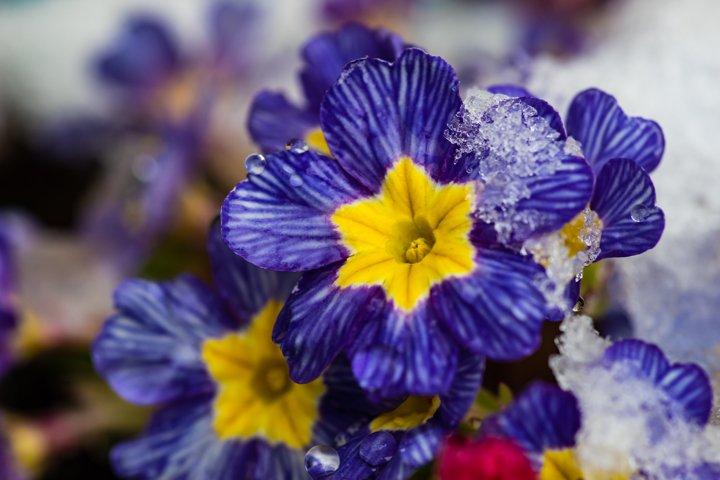Beautiful primerose flowers