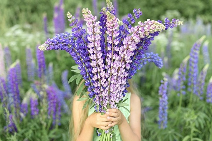 faceless little kid girl with bouquet bloom flowers lupines