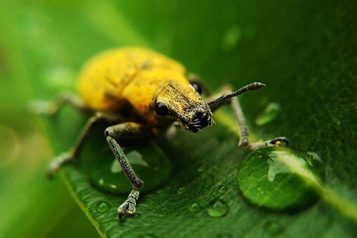 Yellow Bugs On bloomings