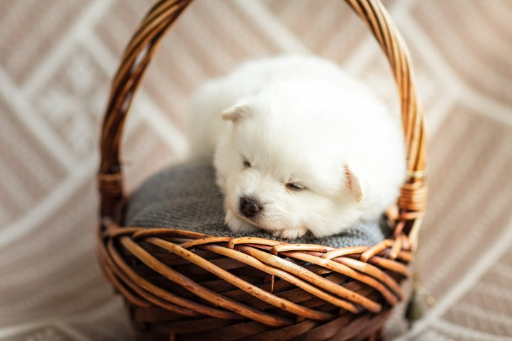 Photos of cute adorable fluffy white Spitz dog puppy