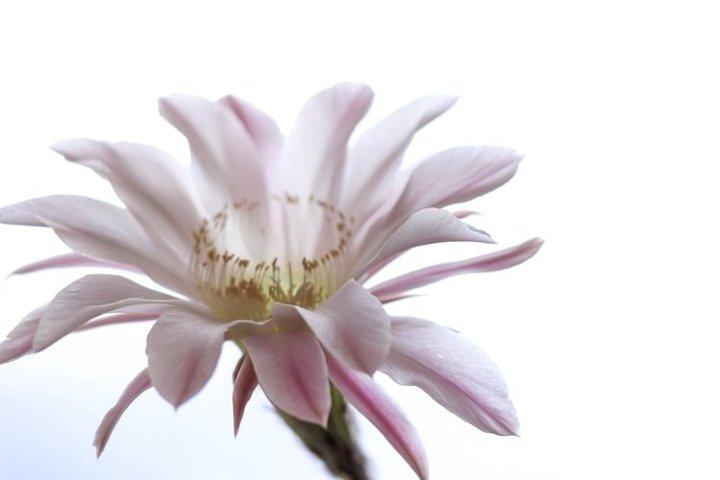 Light pink tender echinopsis spiky cactus flower.