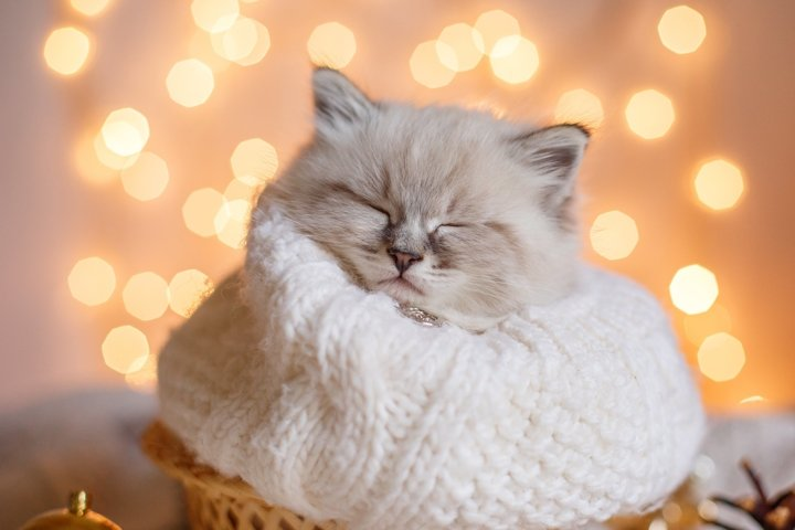 kitten sleeping wrapped in a scarf, Christmas background