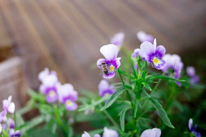 Little wasp collects nectar from purple pansy flowers