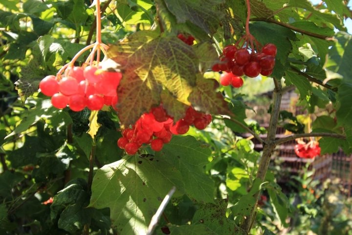 The ripening red berries of viburnum in the sun