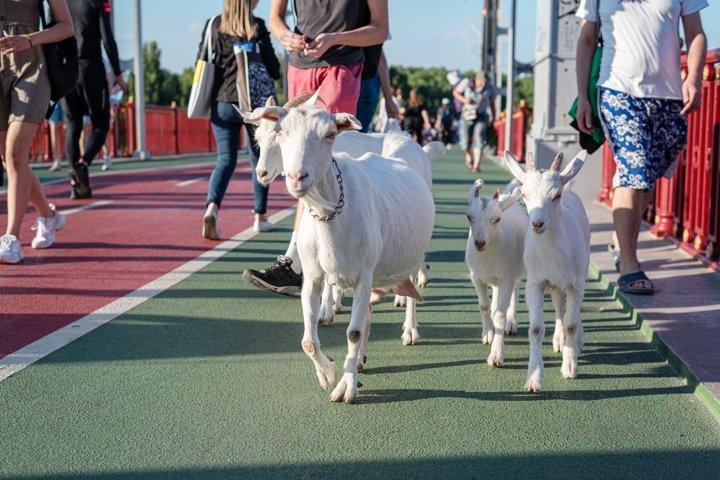 White goats walking on pedestrian bridge in the city center