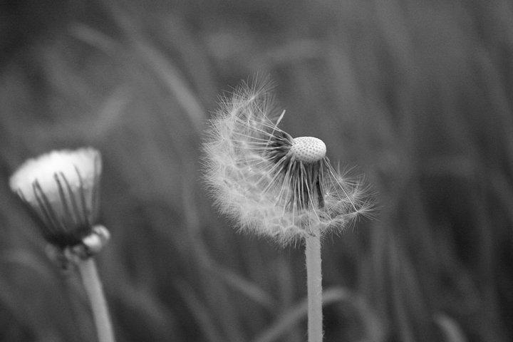 Black White Dandelion Print