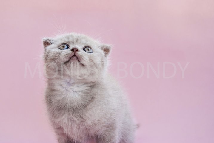 Bright kitten looks up on a pink background. Close-up.