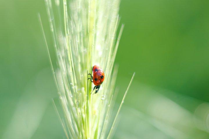 Little red ladybird in a green grass