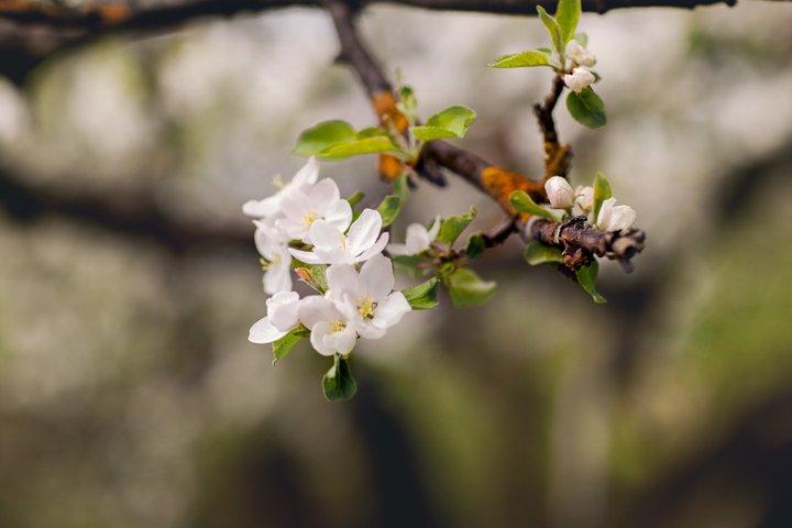 White flowers of apple tree in spring garden
