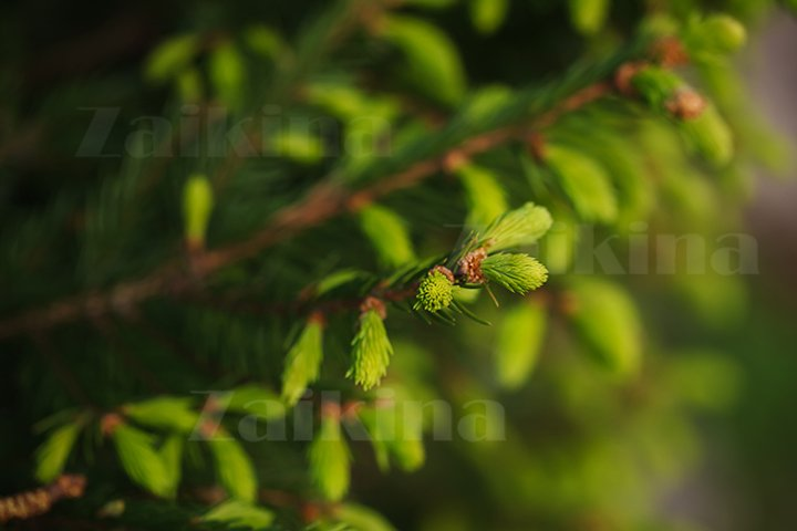 Young spruce twigs. Natural background from spring forest