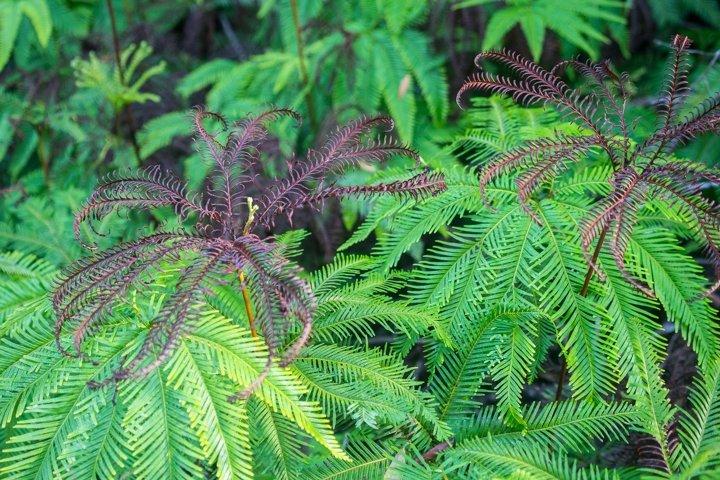 Emerald Ferns along a bush track in Sydneys Middle Harbour