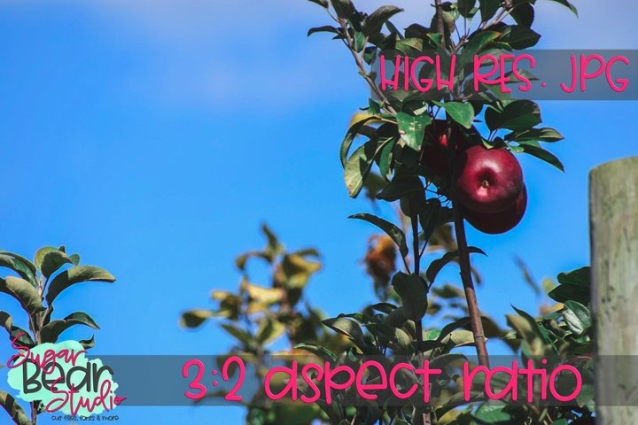 Apples on a Tree - Stock Photo