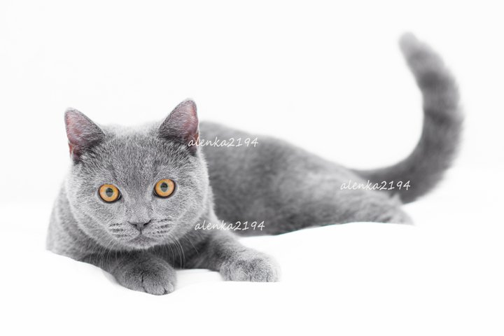 Gray british cat on a white background. Isolated cat