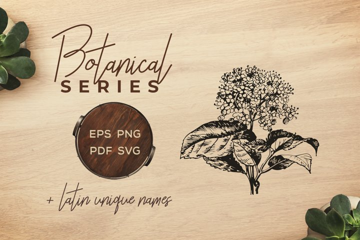 Botanical Vintage Flowers - Illustration Wayfaring tree