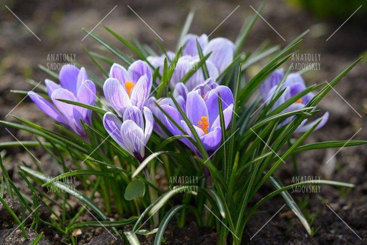 Crocus flowers close-up