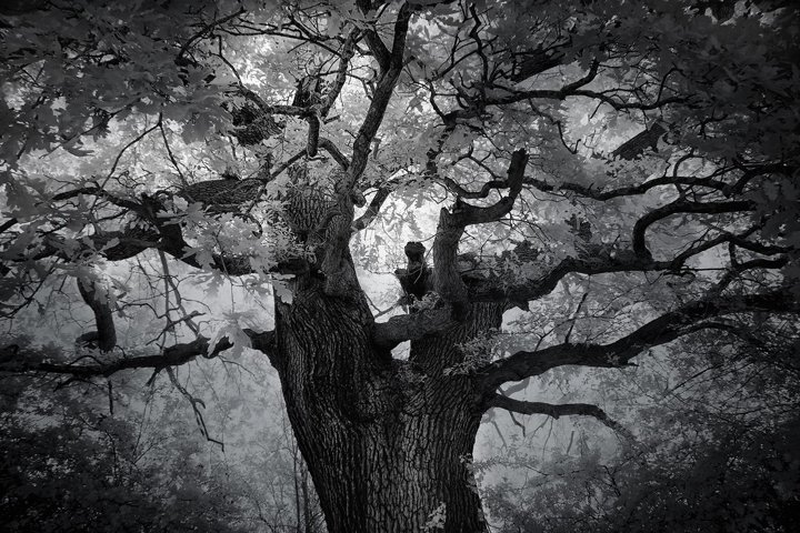 Beautiful Old Oaktree, West London, Infrared photograph