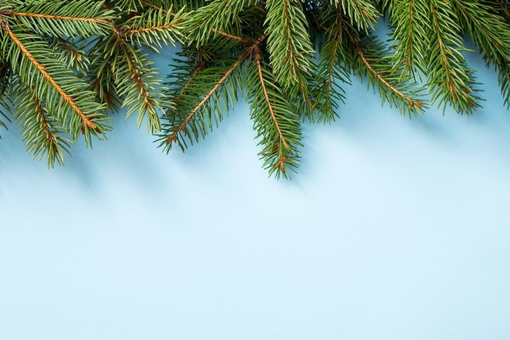 winter nature background with pine branch , copy space