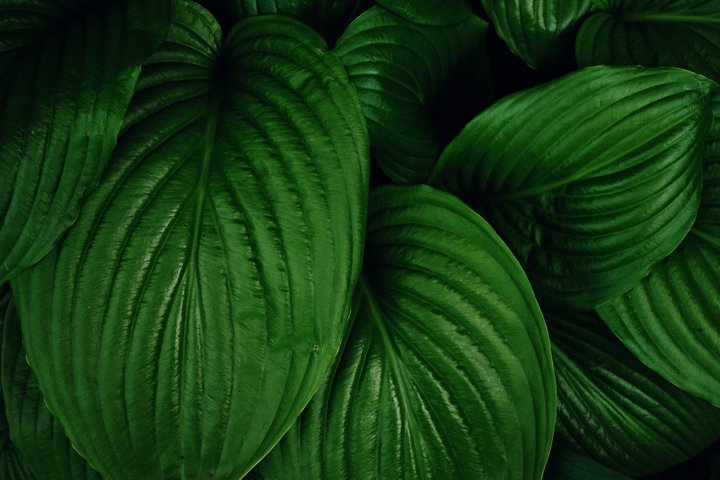 Texture of dark green tropical leaves.