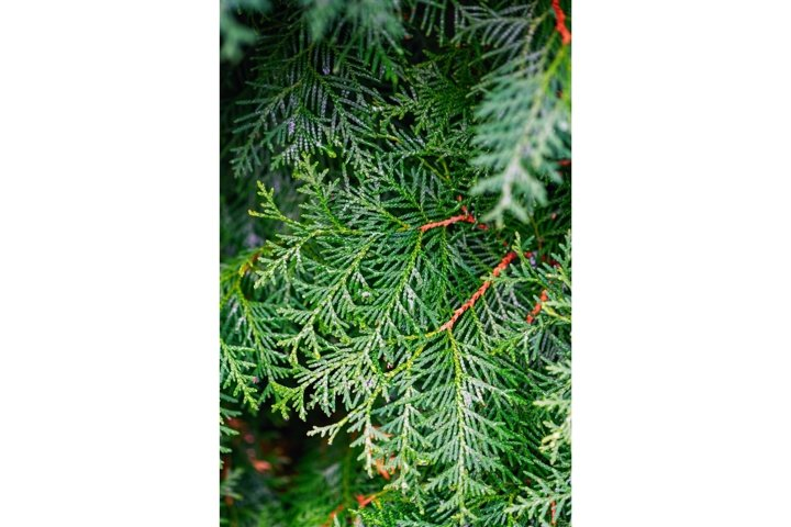 Fresh green thuja branches after rain. Natural background