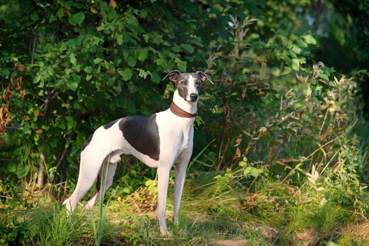 A dog breeds whippet, greyhound hunting dogs