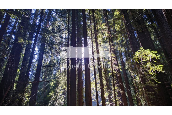 Stock Photography, Forest Trail, Redwood Trees Sunrise