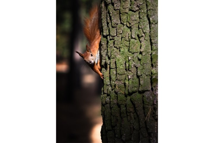 Curious fluffy red squirrel on the tree trunk in the park