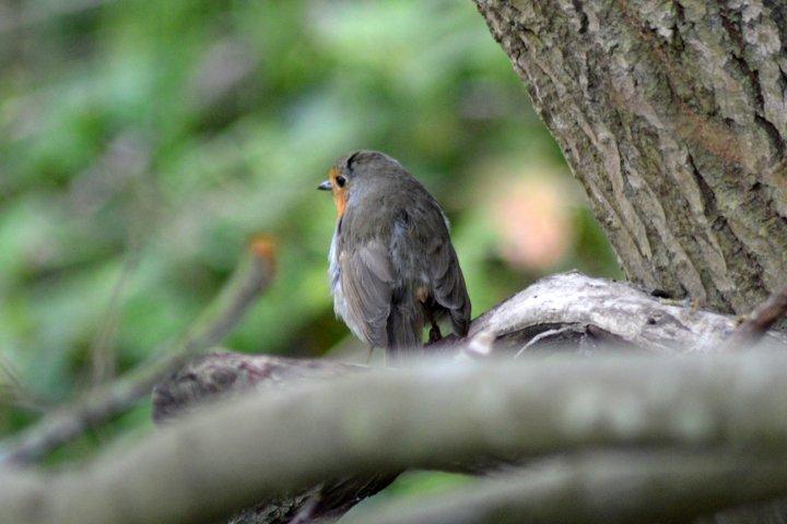 Robin photograph
