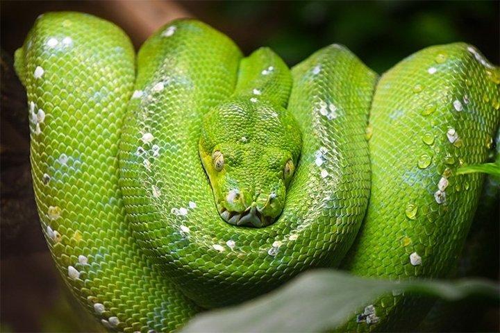 Green Tree Python Portrait