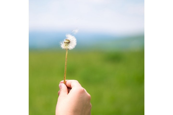 Make a Wish - Blowing Dandelion Seeds Square Cropped Photo