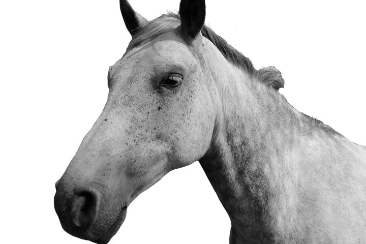 Horse head White background