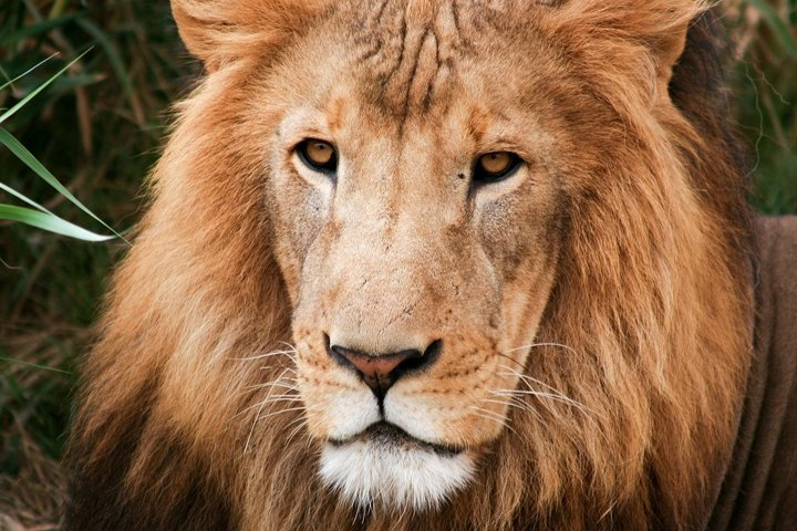 Close up shot of Lion