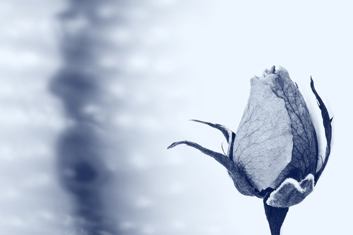 A Pretty Rose Bud in Blue Abstract Background