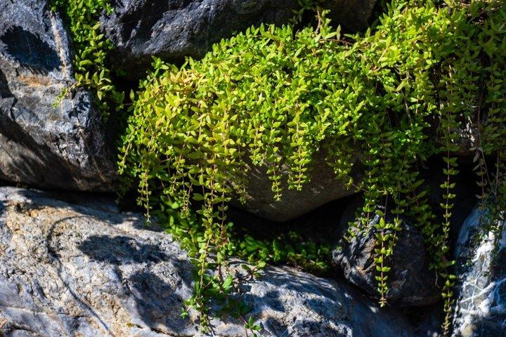 Creepy plant on a rock