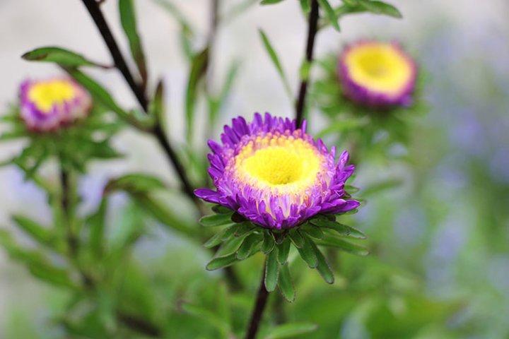 purple asters in the garden