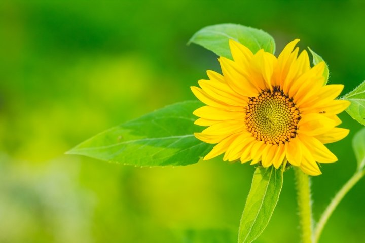 sunflower isolated on green background