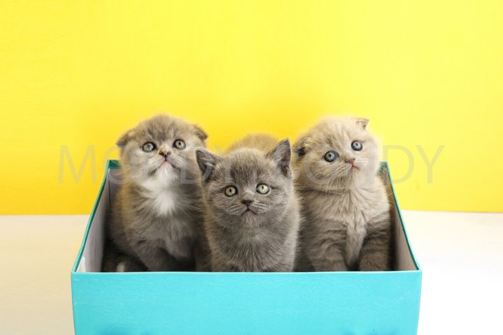 Three little scottish kitten is sitting in a blue box