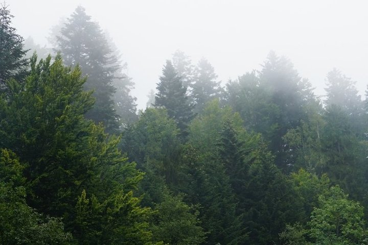 The fir-tree forest in the fog