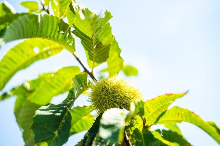 Spanish chestnut on a tree