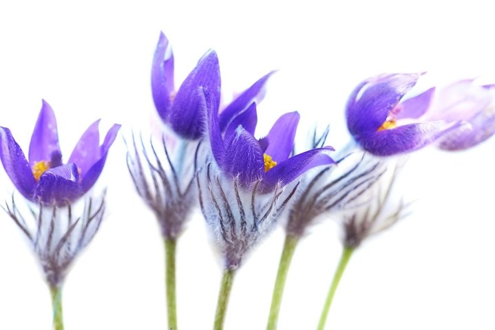 Violet flowers Pulsatilla patens