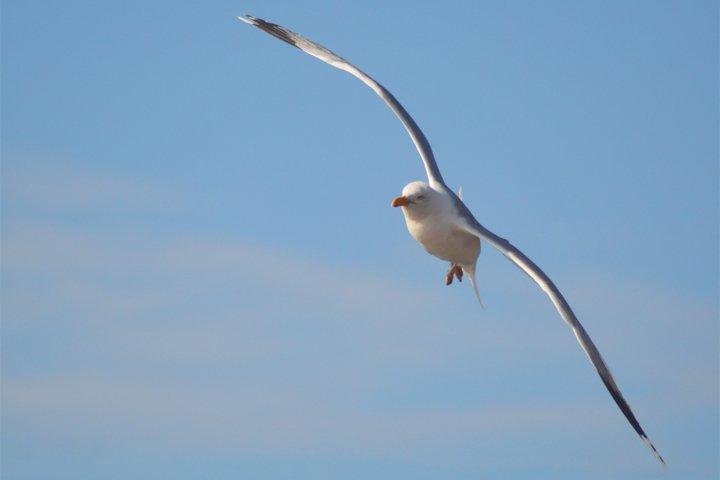 Seagull, Bird photograph