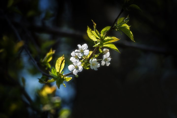 Blossom in the Spring