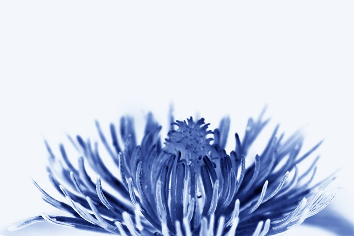 Close Up of a Blue Blossom Flower Rising Up for Background